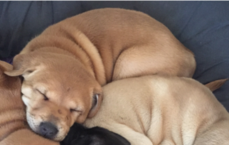 Thai Ridgeback Puppy For Sale in LONG BEACH, CA