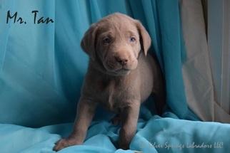 Labrador Retriever Puppy for sale in BUTLER, OH, USA