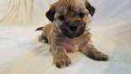 Zuchon Puppy For Sale in MANITOWOC, WI, USA