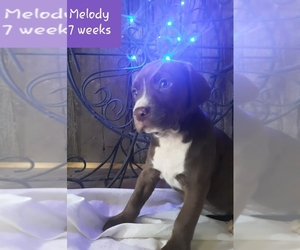 American Pit Bull Terrier-English Springer Spaniel Mix Dog for Adoption in SEBEWAING, Michigan USA