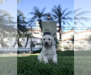 Poodle (Standard) Puppy for Sale in GLENDALE, California USA