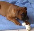Boxer Puppy For Sale in PORT HAYWOOD, VA