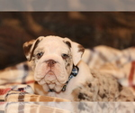 Puppy 7 Bulldog