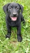 Labrador Retriever Puppy For Sale in WEBBERVILLE, MI