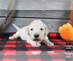 Puppy 9 English Cream Golden Retriever-Poodle (Standard) Mix