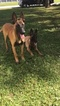 Belgian Malinois Puppy For Sale in PALM BAY, FL, USA