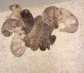 Chesapeake Bay Retriever Puppy For Sale in MILLERSBURG, OH,