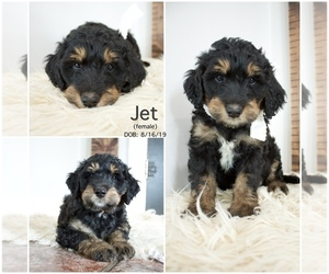 Bernedoodle Puppy for Sale in FLOYD, Iowa USA