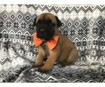 Scout the Boerboel