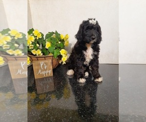 Bernedoodle Puppy for Sale in SHIPSHEWANA, Indiana USA