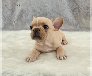 French Bulldog Puppy for sale in BELLE MEAD, NJ, USA