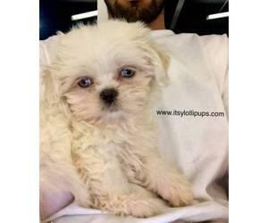 Shih Tzu Dog for Adoption in HAYWARD, California USA