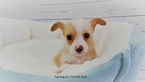 Jack Russell Terrier-Maltese Mix Puppy For Sale in LA MIRADA, CA, USA