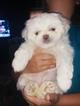 Jatzu Puppy For Sale in WATERLOO, IA, USA