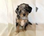Puppy 3 Australian Shepherd-Poodle (Miniature) Mix