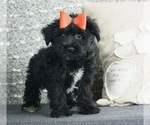Puppy 9 Poodle (Toy)-Yorkshire Terrier Mix