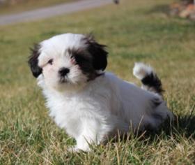 View Ad Shih Tzu Puppy For Sale Pennsylvania York Usa