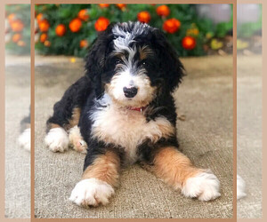Bernedoodle Puppy for Sale in WASHINGTON, Iowa USA