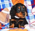 Dachshund Puppy For Sale in EPHRATA, PA, USA