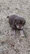 Labrador Retriever Puppy For Sale in MORGANTON, NC, USA
