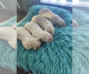 Golden Retriever Puppy for sale in PIEDMONT, SC, USA