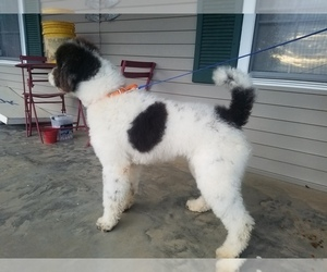 Father of the Saint Berdoodle puppies born on 04/04/2019