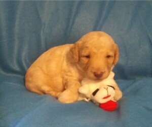 Goldendoodle-Poodle (Miniature) Mix Puppy for Sale in NORTH LIBERTY, Indiana USA