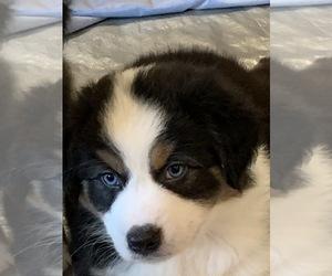 Australian Shepherd Dog for Adoption in LUTZ, Florida USA