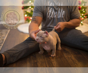 American Bully Puppy for sale in PORTAGE, IN, USA