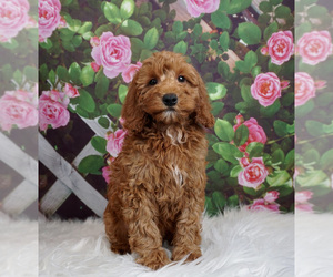 Goldendoodle Puppy for Sale in WARSAW, Indiana USA