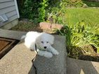 Bichon Frise Puppy For Sale in FAIRFAX, VA, USA