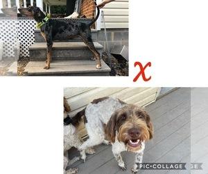 Doodle-Labradoodle Mix Dog for Adoption in DAYTON, Virginia USA