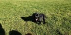 Labrador Retriever Puppy For Sale in CO SPGS, CO, USA