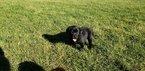 Labrador Retriever Puppy For Sale in CO SPGS, Colorado,