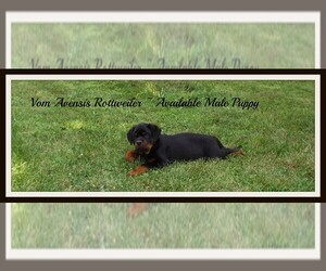Puppies for Sale near Dayton, Ohio, USA, Page 1 (10 per page