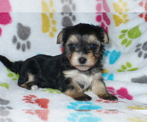 Havashire Puppy for sale in ORO VALLEY, AZ, USA