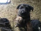 German Shepherd Dog Puppy For Sale in MILLBROOK, AL, USA