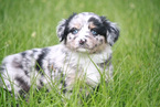 Miniature Australian Shepherd Puppy For Sale in MAGNOLIA, TX, USA