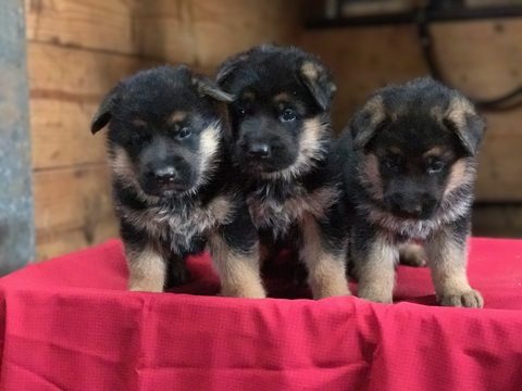 View Ad German Shepherd Dog Puppy For Sale Indiana Topeka Usa