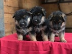 German Shepherd Dog Puppy For Sale in TOPEKA, IN, USA