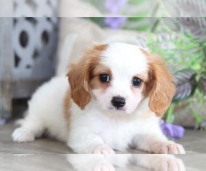 Cavachon Dog for Adoption in MOUNT VERNON, Ohio USA