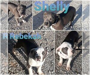 American Pit Bull Terrier Puppy for sale in ALVORD, TX, USA