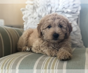 Goldendoodle Puppy for sale in BONNEAU, SC, USA
