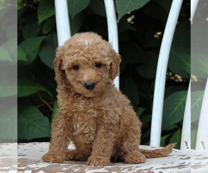 Labradoodle-Poodle (Miniature) Mix Puppy for sale in PARADISE, PA, USA