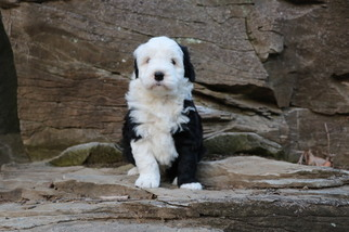 Old English Sheepdog-Poodle (Miniature) Mix Puppy For Sale in CHILLICOTHE, MO, USA