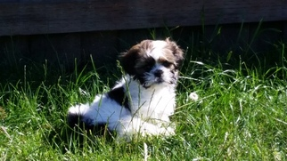 Shih Apso Puppy For Sale in LAKE OSWEGO, OR, USA