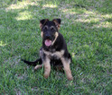 German Shepherd Dog Puppy For Sale near 76262, Roanoke, TX, USA