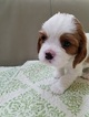 Cavalier King Charles Spaniel Puppy For Sale in RENO, NV, USA