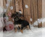 Puppy 3 Chorkie