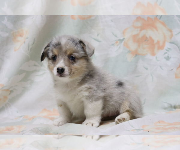 Full screen Photo #1 Pembroke Welsh Corgi Puppy For Sale in SHILOH, OH, USA